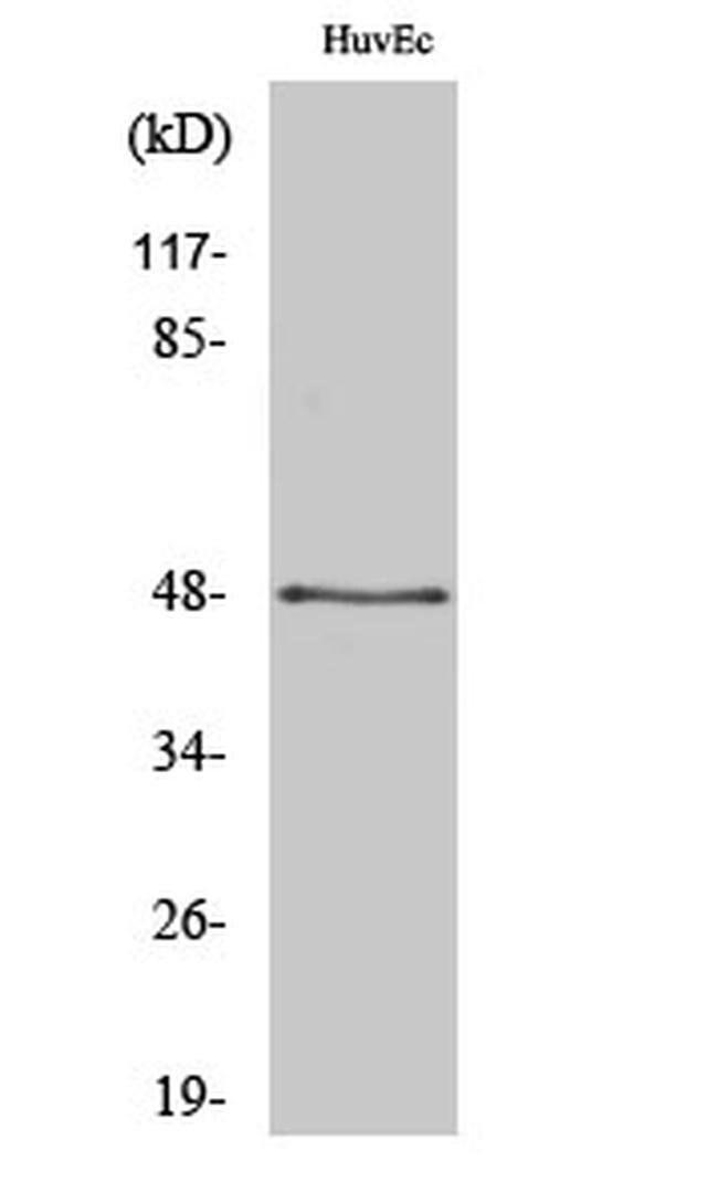 SYT13 Rabbit anti-Human, Mouse, Rat, Polyclonal, Invitrogen 100 µL;