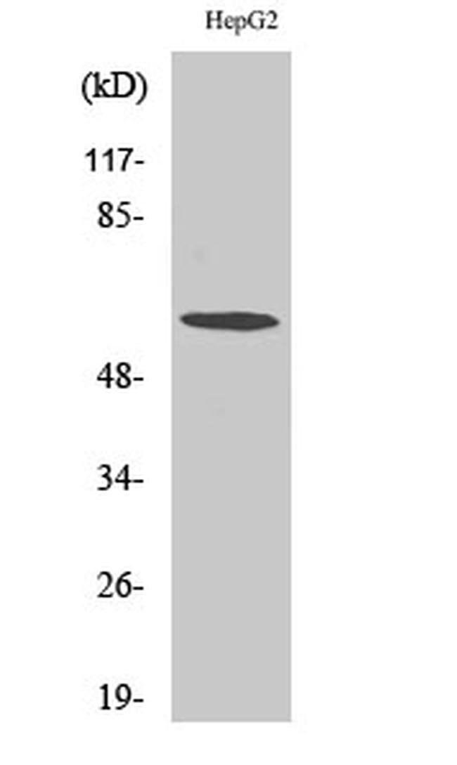 TCP-1 zeta Rabbit anti-Human, Mouse, Rat, Polyclonal, Invitrogen 100 µL;