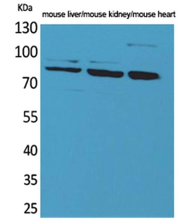 Cullin 4B Rabbit anti-Human, Mouse, Rat, Polyclonal, Invitrogen 100 µL;