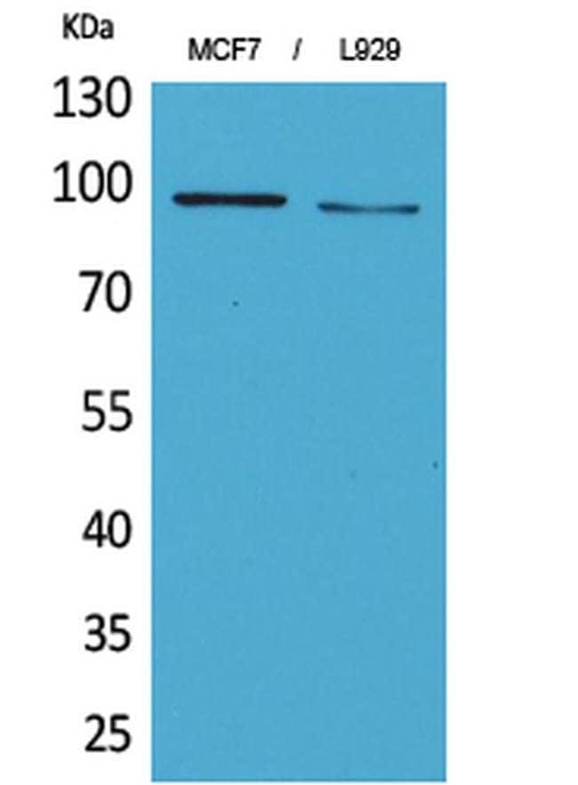 CD100 Rabbit anti-Human, Mouse, Rat, Polyclonal, Invitrogen 100 µL;