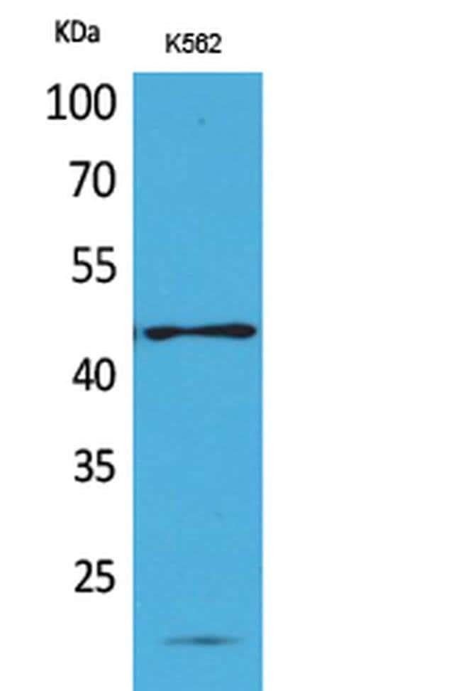 RHAG Rabbit anti-Human, Polyclonal, Invitrogen 100 µL; Unconjugated