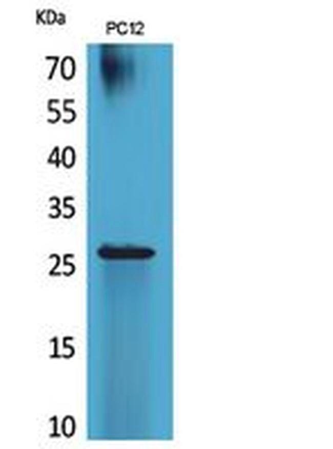 POLR3G Rabbit anti-Human, Mouse, Polyclonal, Invitrogen 100 µL; Unconjugated
