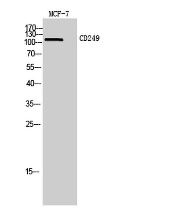 CD249 Rabbit anti-Human, Mouse, Rat, Polyclonal, Invitrogen 100 µL;