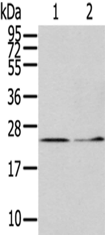 ITPA Rabbit anti-Human, Polyclonal, Invitrogen 100 µL; Unconjugated