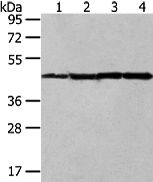 UQCRC2 Rabbit anti-Human, Mouse, Polyclonal, Invitrogen 100 µL; Unconjugated