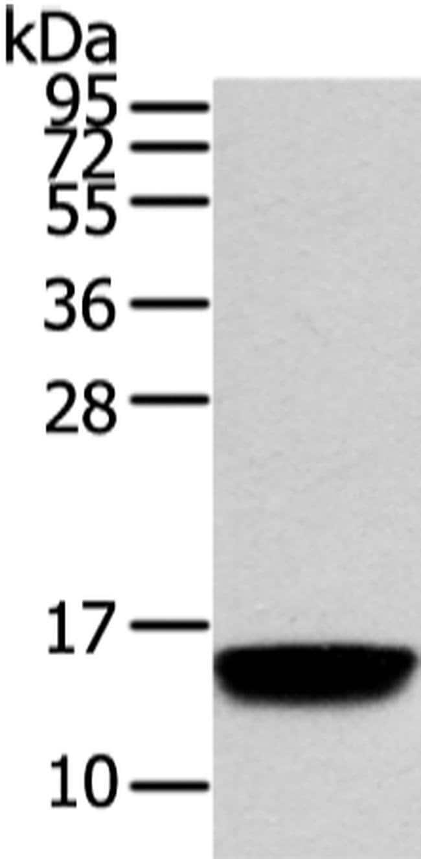 VAMP5 Rabbit anti-Human, Polyclonal, Invitrogen 100 µL; Unconjugated