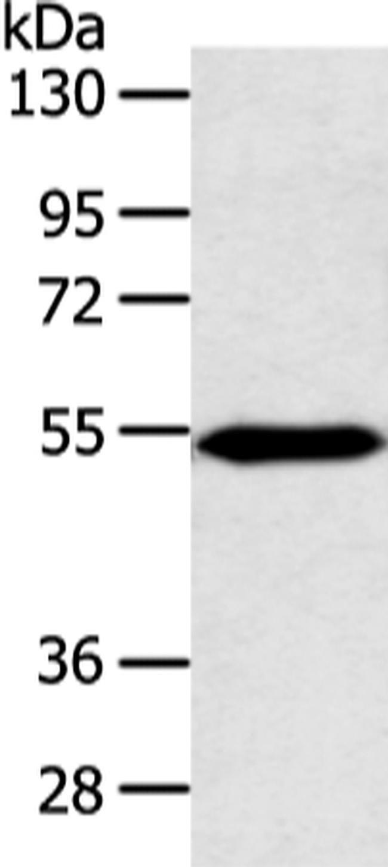 ZNF239 Rabbit anti-Human, Mouse, Polyclonal, Invitrogen 100 µL; Unconjugated