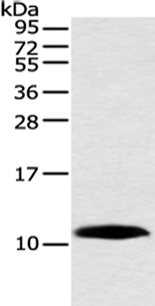 HMGN3 Rabbit anti-Human, Mouse, Polyclonal, Invitrogen 100 µL; Unconjugated