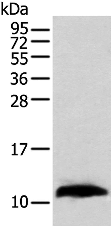 TBCA Rabbit anti-Human, Mouse, Polyclonal, Invitrogen 100 µL; Unconjugated