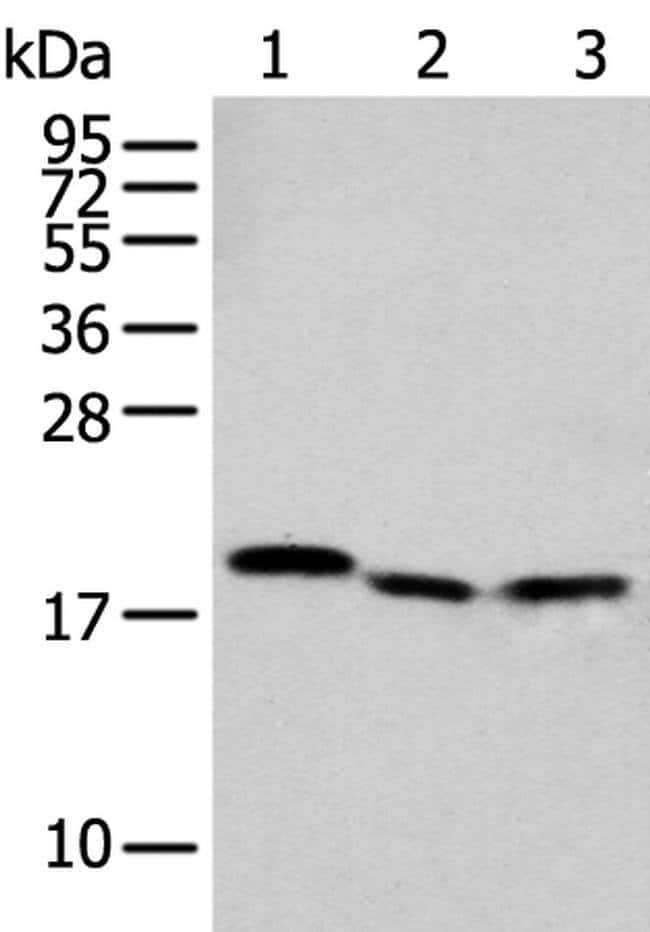 NUDT2 Rabbit anti-Human, Mouse, Polyclonal, Invitrogen 100 µL; Unconjugated