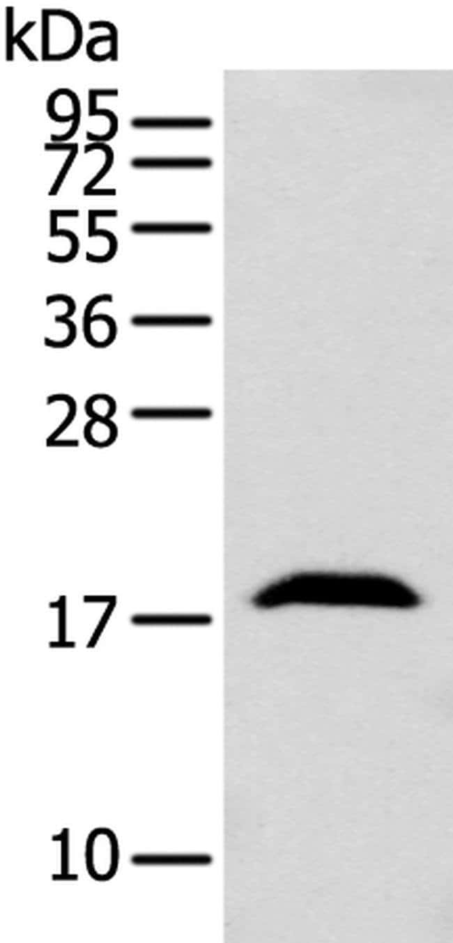GMFB Rabbit anti-Human, Mouse, Polyclonal, Invitrogen 100 µL; Unconjugated
