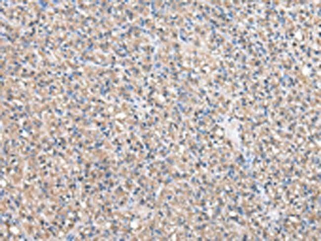 TAF172 Rabbit anti-Human, Mouse, Polyclonal, Invitrogen 100 µL; Unconjugated