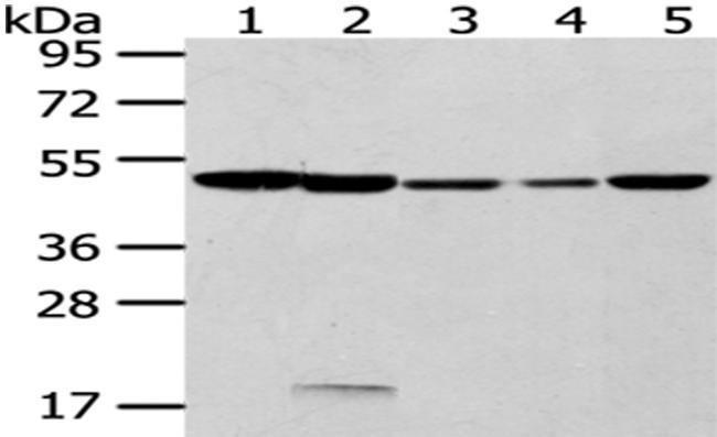 CYP20A1 Rabbit anti-Human, Mouse, Polyclonal, Invitrogen 100 µL; Unconjugated