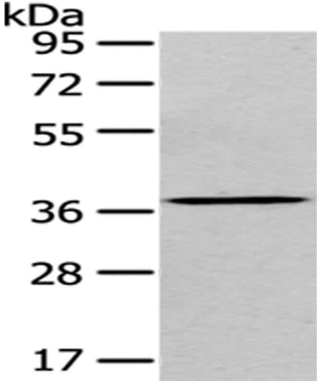 eIF3i Rabbit anti-Human, Polyclonal, Invitrogen 100 µL; Unconjugated