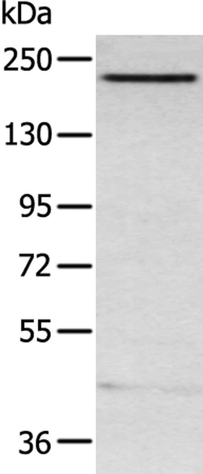ARID2 Rabbit anti-Human, Mouse, Polyclonal, Invitrogen 100 µL; Unconjugated