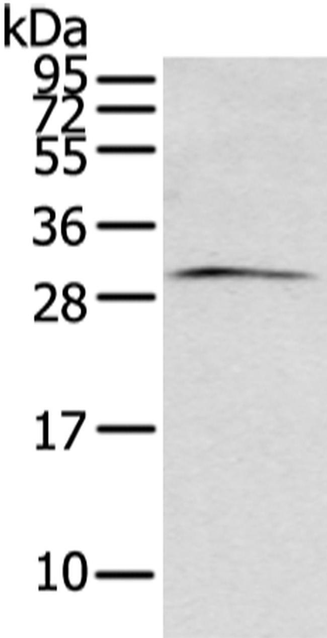 ZFAND2B Rabbit anti-Human, Mouse, Polyclonal, Invitrogen 100 µL; Unconjugated