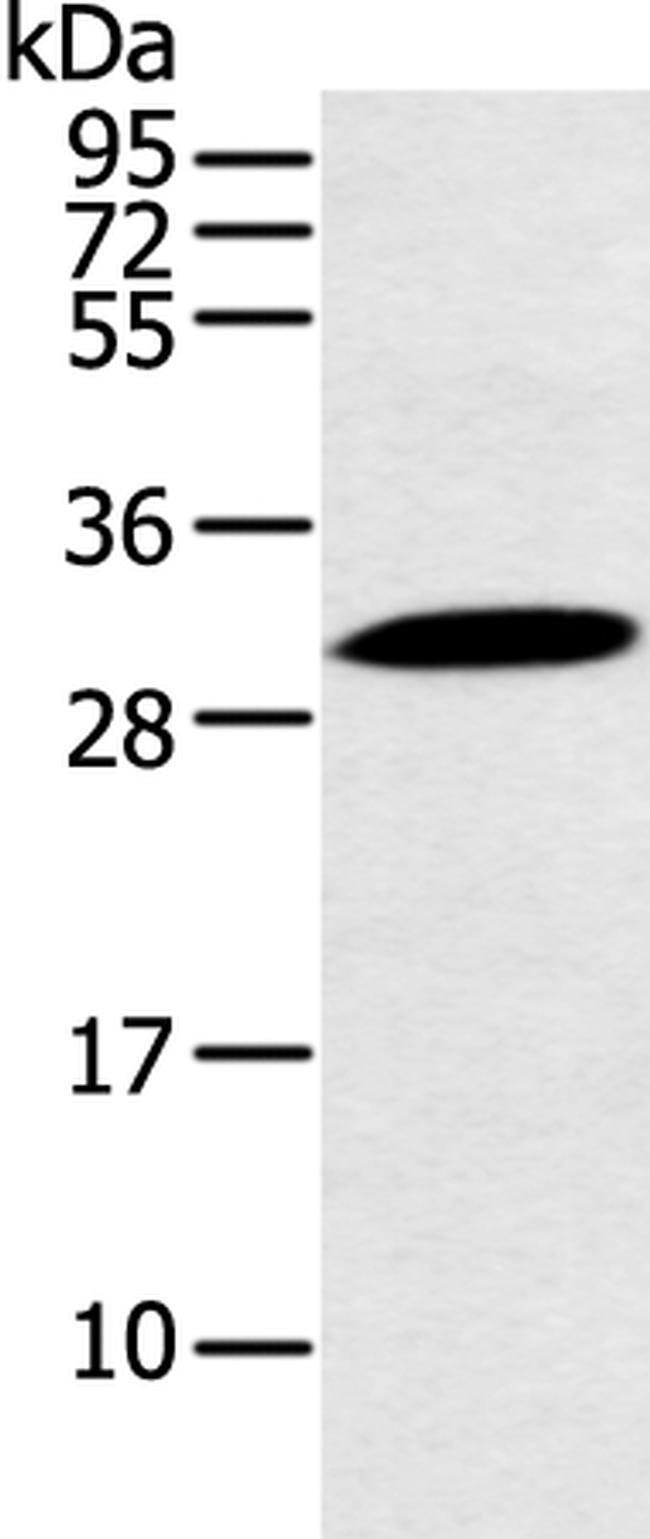 YRDC Rabbit anti-Human, Mouse, Polyclonal, Invitrogen 100 µL; Unconjugated