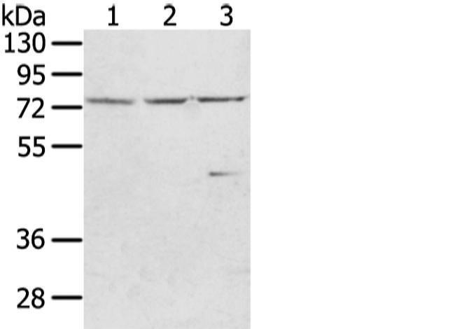 WRAP53 Rabbit anti-Human, Polyclonal, Invitrogen 100 µL; Unconjugated