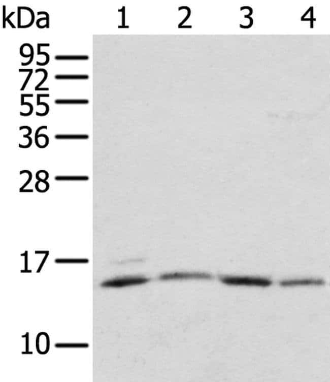 RPL35A Rabbit anti-Human, Polyclonal, Invitrogen 100 µL; Unconjugated