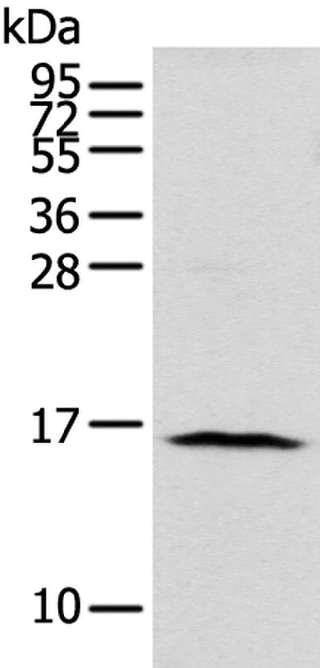 NUDT10 Rabbit anti-Human, Polyclonal, Invitrogen 100 µL; Unconjugated