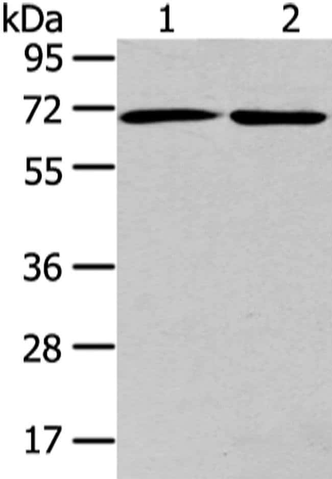 ARFGAP2 Rabbit anti-Human, Mouse, Rat, Polyclonal, Invitrogen 100 µL;