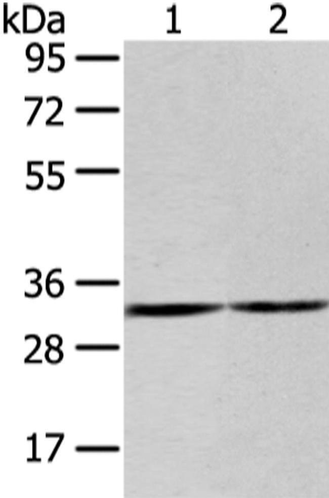 ZNF146 Rabbit anti-Human, Polyclonal, Invitrogen 100 µL; Unconjugated