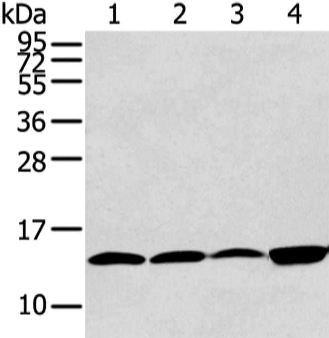 CLDND2 Rabbit anti-Human, Mouse, Polyclonal, Invitrogen 100 µL; Unconjugated