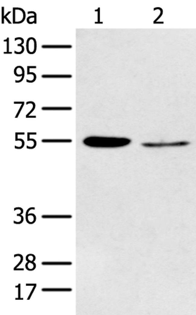 HTR2A Rabbit anti-Human, Polyclonal, Invitrogen 100 µL; Unconjugated