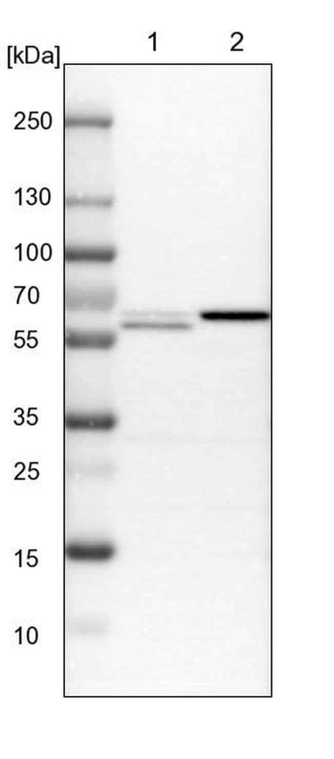 EXOC7 Rabbit anti-Human, Mouse, Rat, Polyclonal, Invitrogen™ 100 μL; Unconjugated Primary Antibodies Er to Ez