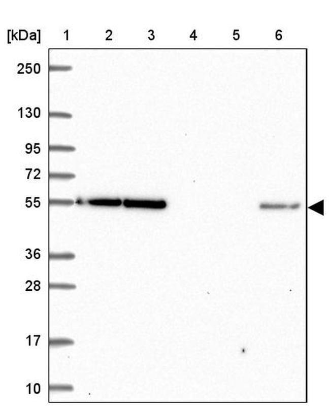 eIF3d Rabbit anti-Human, Polyclonal, Invitrogen 100 µL; Unconjugated