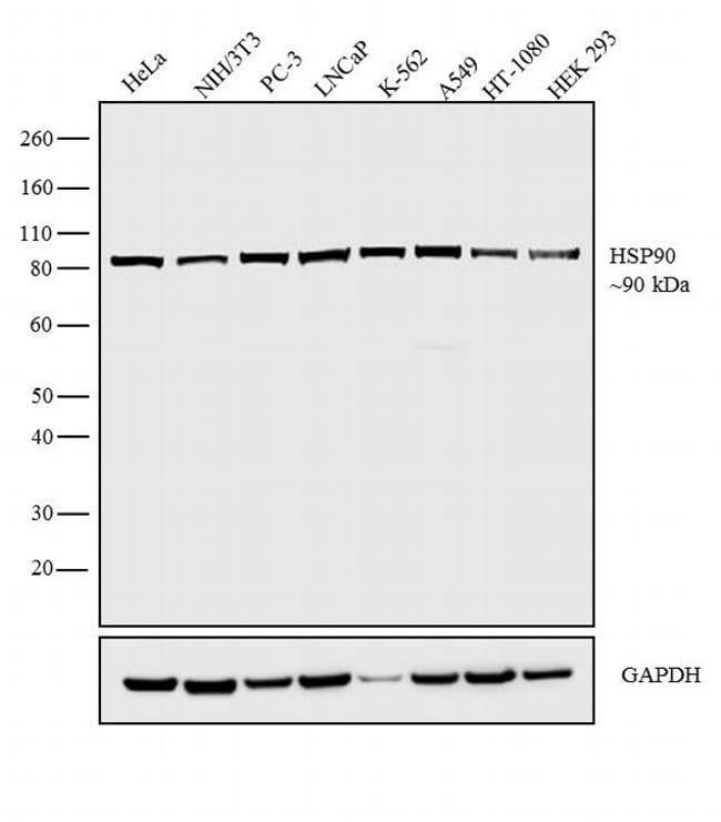 HSP90 alpha Rabbit anti-Human, Mouse, Polyclonal, Invitrogen 500 µL;