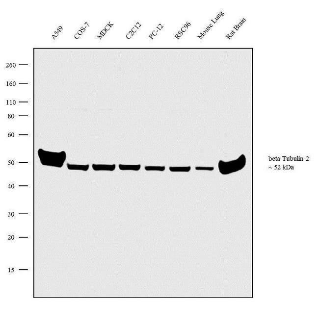 beta Tubulin 2 Rabbit anti-Drosophila, Human, Mouse, Rat, Polyclonal, Invitrogen