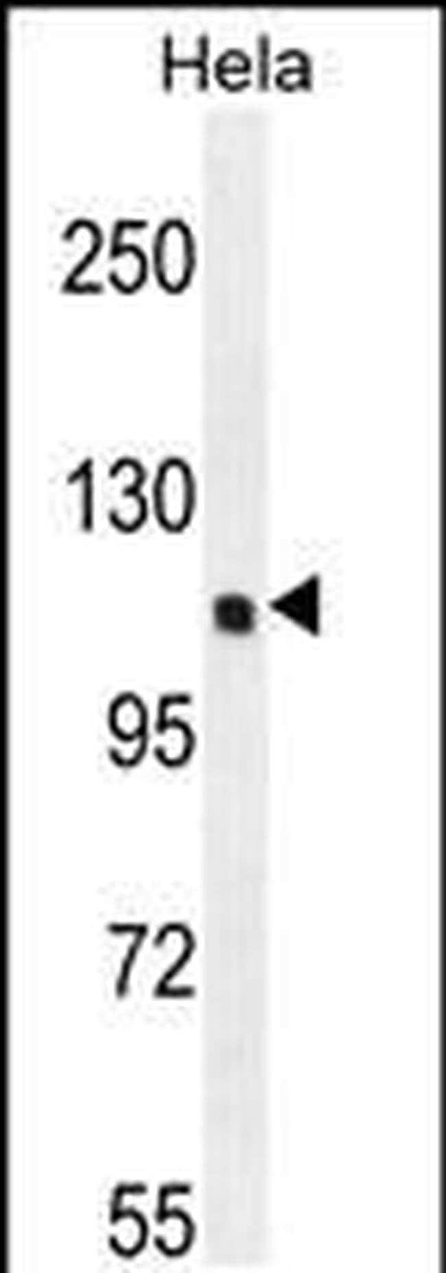 SIK3 Rabbit anti-Human, Polyclonal, Invitrogen 400 µL; Unconjugated