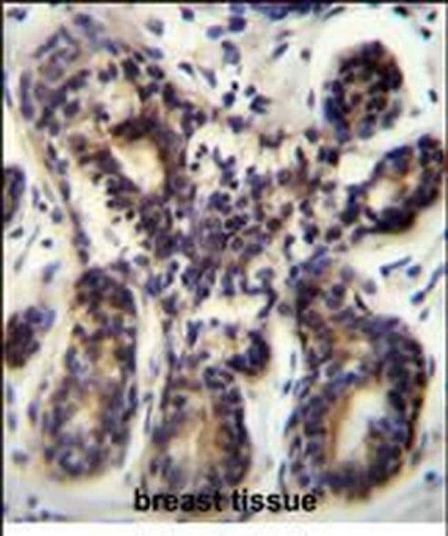 NBPF8 Rabbit anti-Human, Polyclonal, Invitrogen 400 µL; Unconjugated