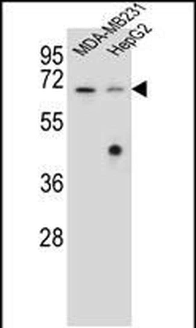 GLMN Rabbit anti-Human, Polyclonal, Invitrogen 400 µL; Unconjugated