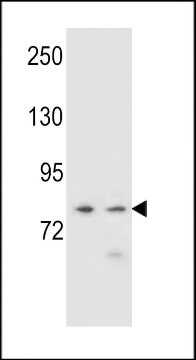 PCDHA9 Rabbit anti-Human, Polyclonal, Invitrogen 400 µL; Unconjugated