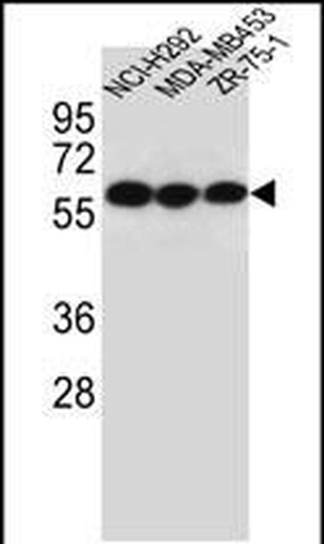 CHRNA10 Rabbit anti-Human, Polyclonal, Invitrogen 400 µL; Unconjugated