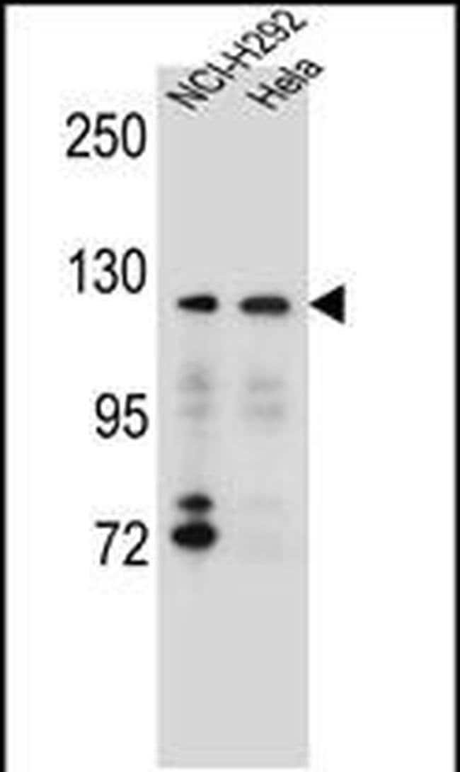 SNX13 Rabbit anti-Human, Polyclonal, Invitrogen 400 µL; Unconjugated