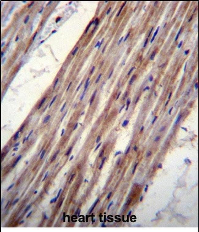 Kir6.1 (KCNJ8) Rabbit anti-Human, Polyclonal, Invitrogen 400 µL; Unconjugated