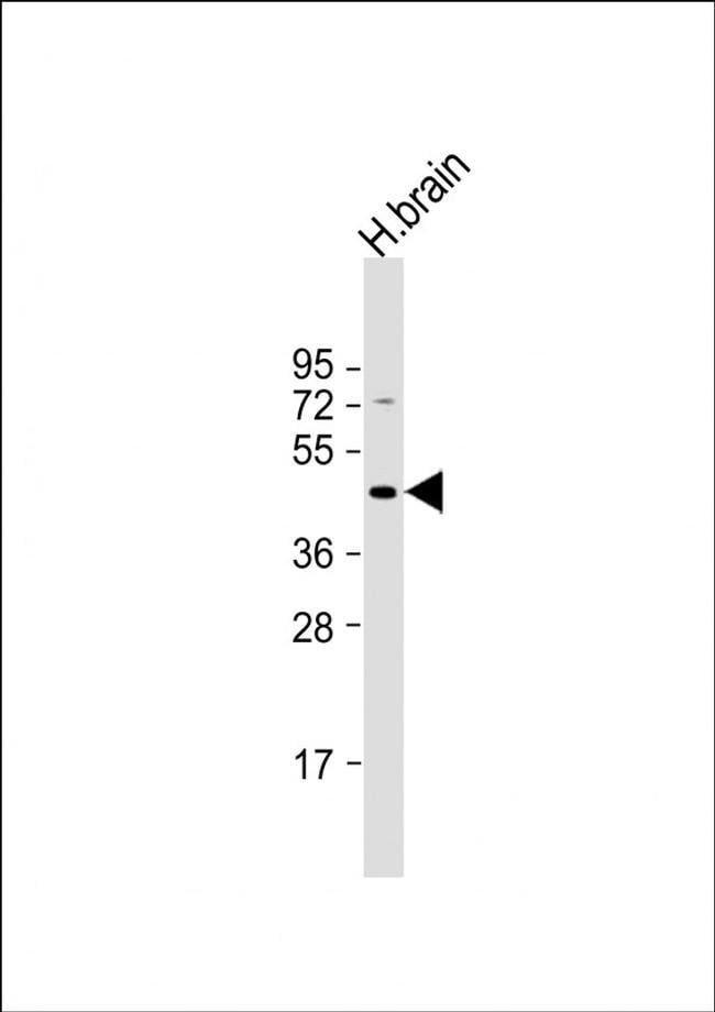 GABRR3 Rabbit anti-Human, Polyclonal, Invitrogen 400 µL; Unconjugated
