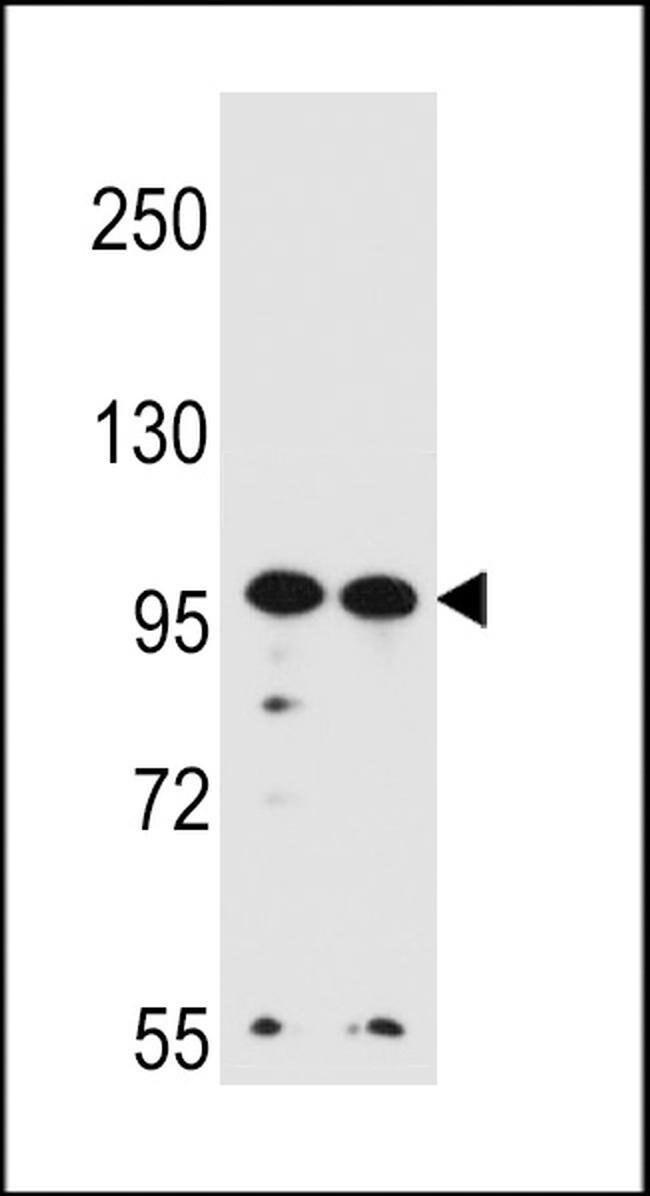 WDR3 Rabbit anti-Human, Polyclonal, Invitrogen 400 µL; Unconjugated
