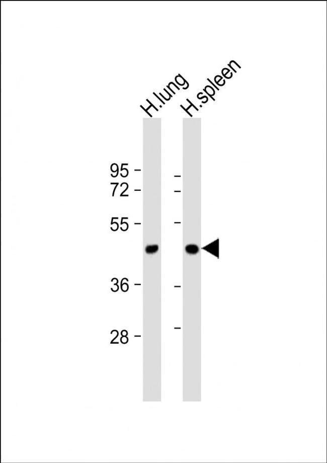 LOXL3 Rabbit anti-Human, Polyclonal, Invitrogen 400 µL; Unconjugated
