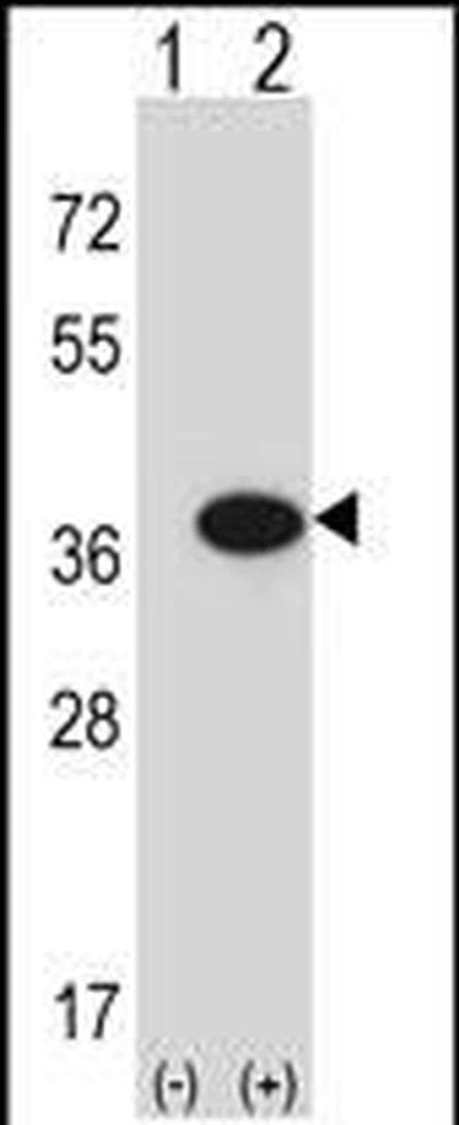 GMPR Rabbit anti-Human, Polyclonal, Invitrogen 400 µL; Unconjugated