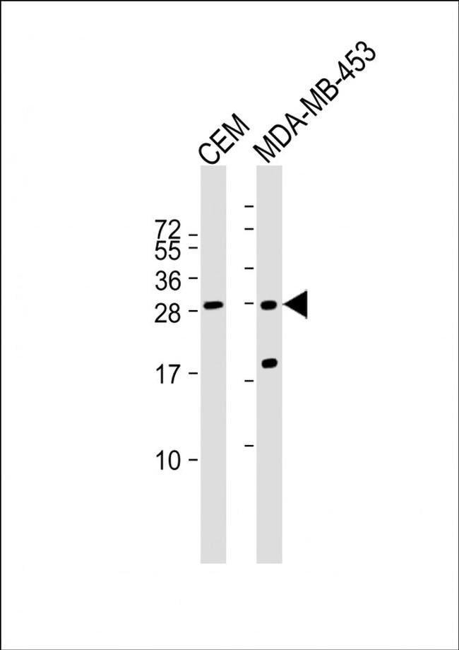 IFI6 Rabbit anti-Human, Polyclonal, Invitrogen 400 µL; Unconjugated
