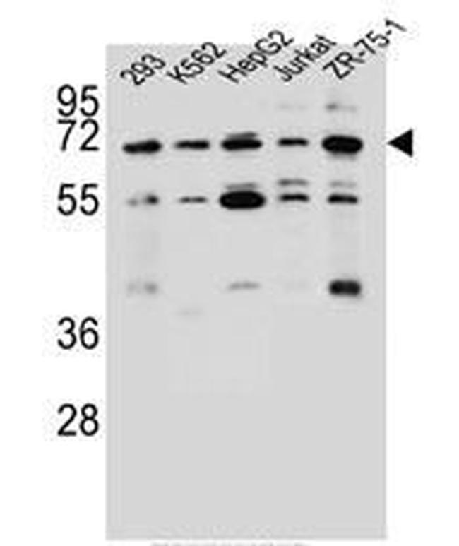 KCNV2 Rabbit anti-Human, Polyclonal, Invitrogen 400 µL; Unconjugated