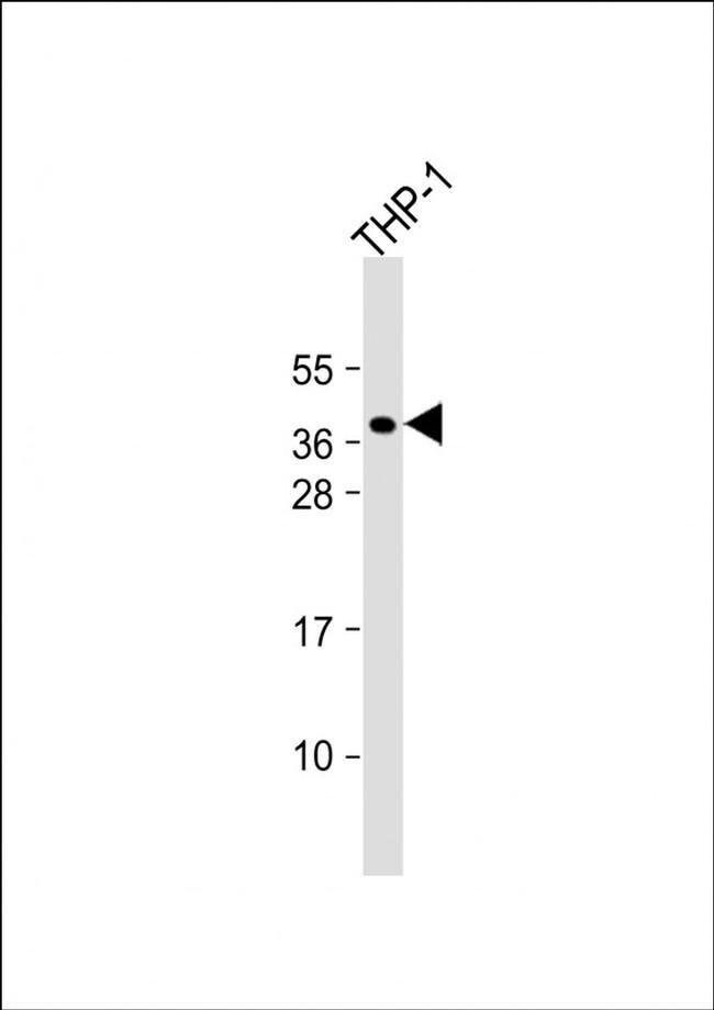 PQLC2 Rabbit anti-Human, Mouse, Polyclonal, Invitrogen 400 µL; Unconjugated