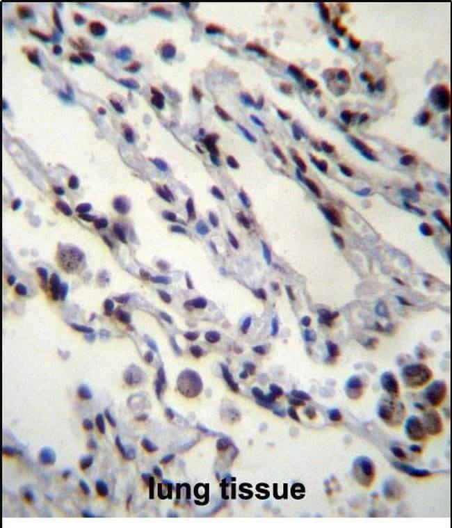 HIST1H2BN Rabbit anti-Human, Polyclonal, Invitrogen 400 µL; Unconjugated