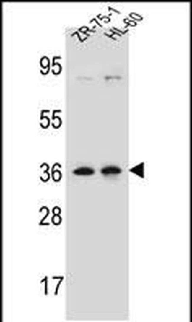 LUZP2 Rabbit anti-Human, Polyclonal, Invitrogen 400 µL; Unconjugated