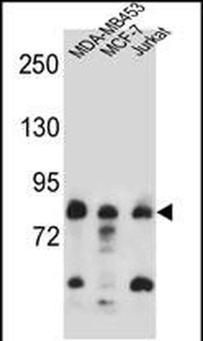 AFG3L2 Rabbit anti-Human, Polyclonal, Invitrogen 400 µL; Unconjugated