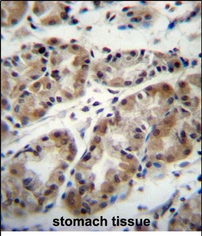 TAF8 Rabbit anti-Human, Polyclonal, Invitrogen 400 µL; Unconjugated